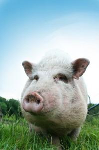 In so einer Umgebung möchten wir ein Schwein gern leben sehen