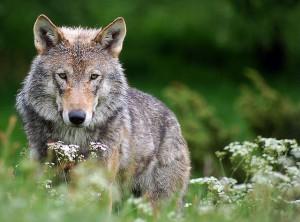 Ruft stärkere Emotionen hervor als jedes Bundesligaspiel – der Wolf / (C) Robert Dewar